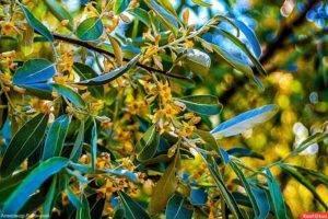 Облепиха – желанное растение в нашем саду