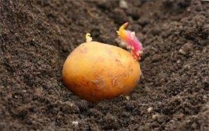 Глубина посадки картофеля. схема посадки картофеля