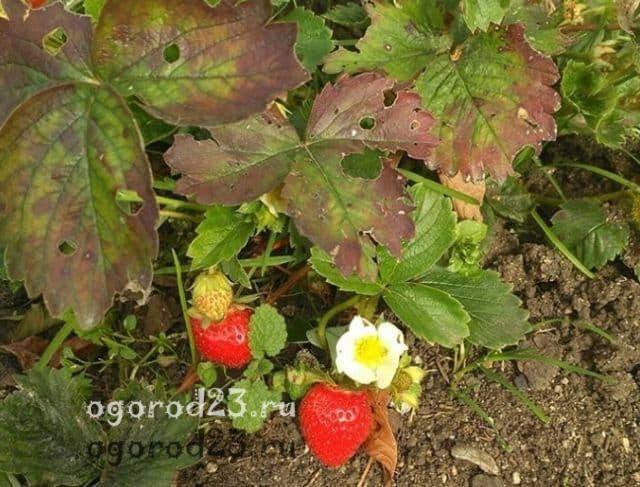 Уход за клубникой после плодоношения: когда обрезать клубнику и чем подкармливать клубнику после плодоношения | красивый дом и сад