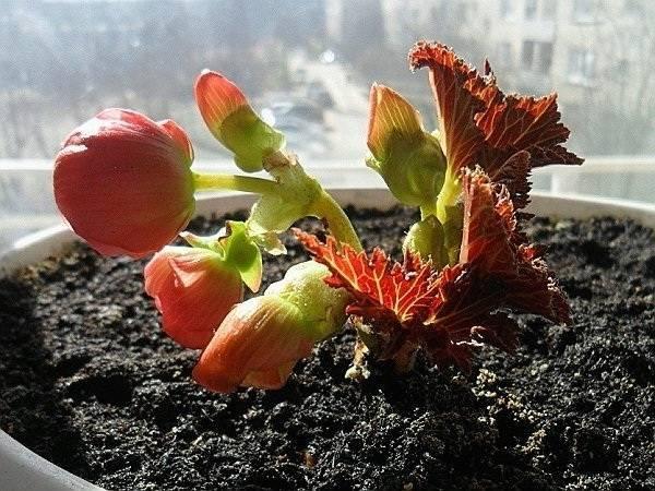 Как вырастить бегонию дома из семян: выбор грунта, горшка, как поливать, уход