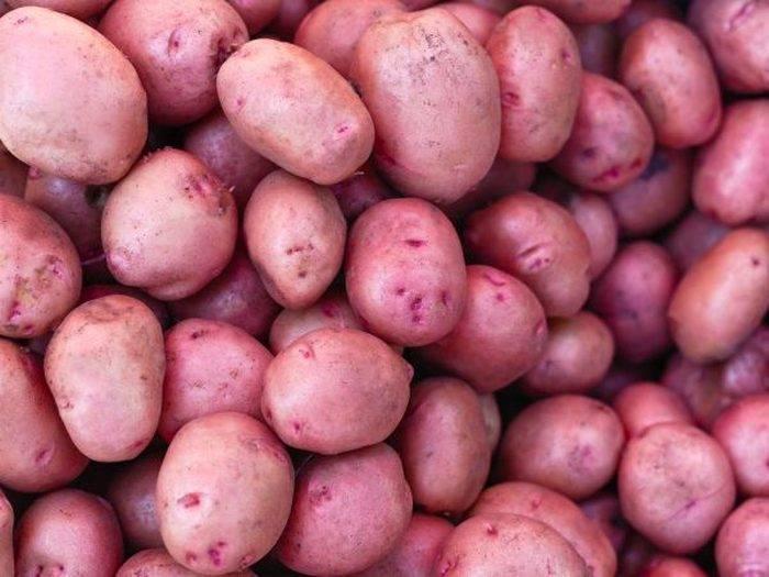Картофель дина описание сорта отзывы