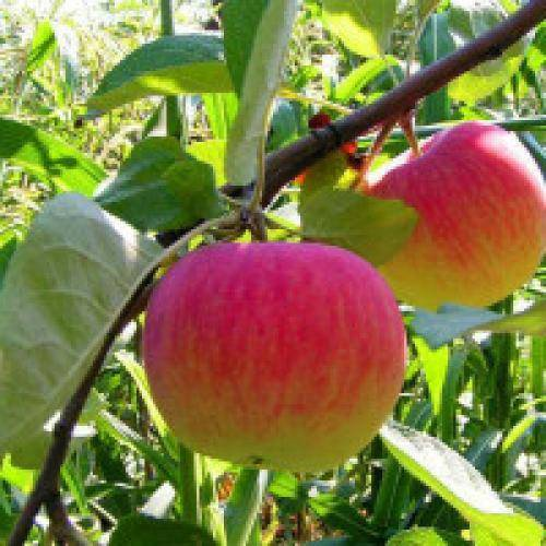 Правильная посадка колоновидной яблони