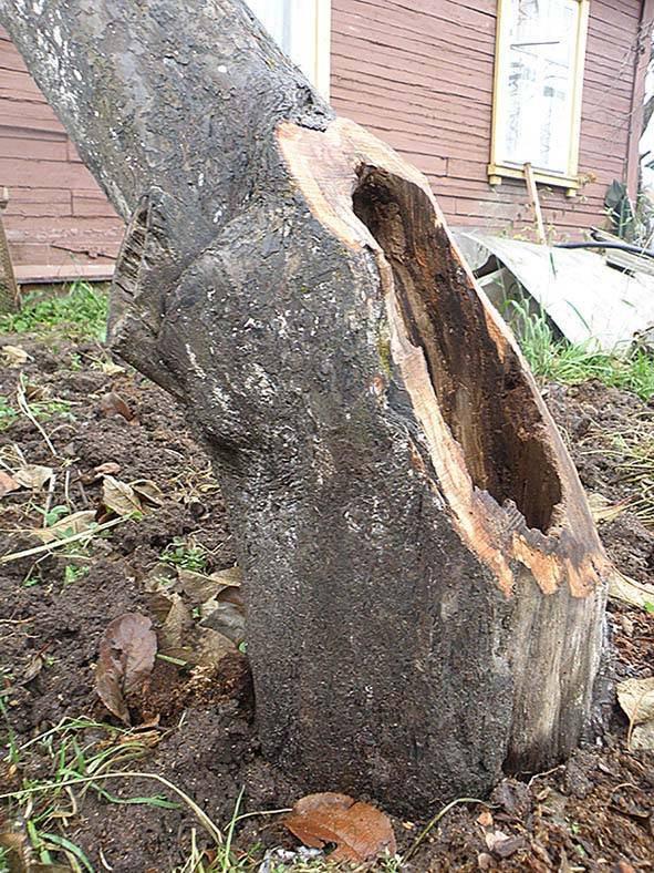 Лечение деревьев — трещины, морозобоины и дупла