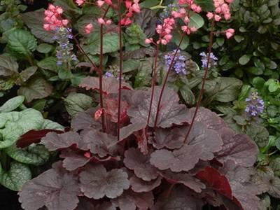 Гейхера – выращивание из семян в домашних условиях пошагово!