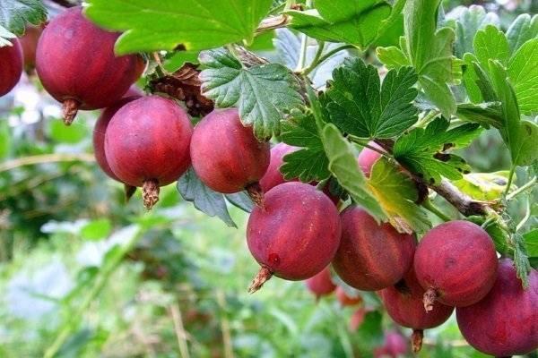 О крыжовнике Краснославянском: описание и характеристики сорта, выращивание