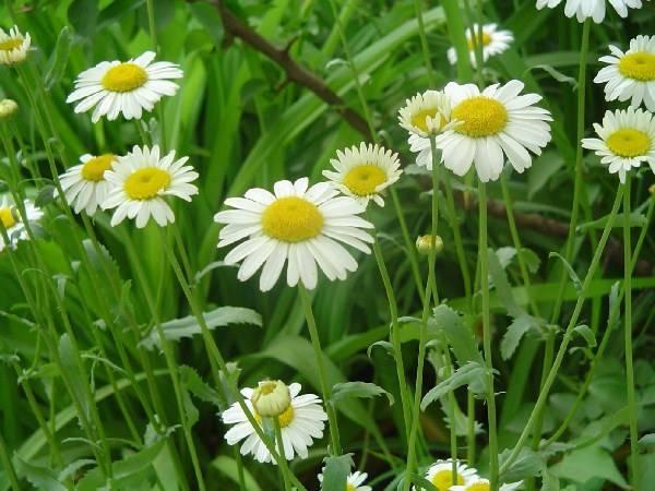Описание и лечебные свойства ромашки полевой, характеристики видов растения
