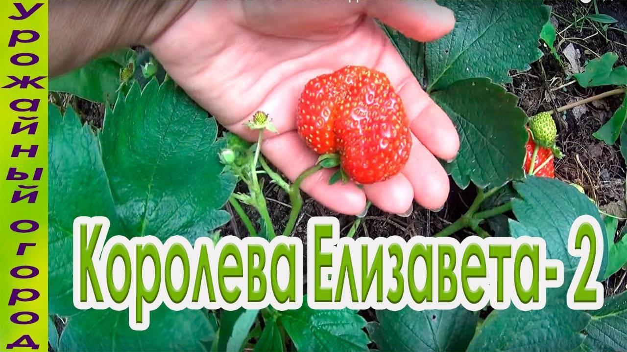 Клубника «елизавета»: описание сорта, фото, отзывы, характеристики, особенности выращивания