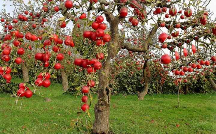 Мох на яблоне, как избавиться. как можно быстро избавиться от лишайника на яблоне?