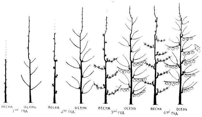 Избавляемся от лишнего: правила обрезки молодых и старых яблонь весной