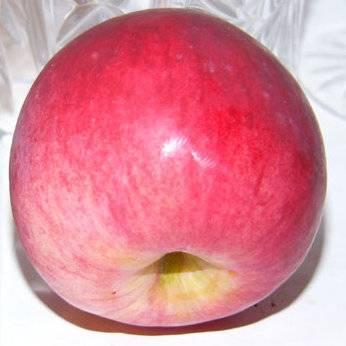 Яблоки универсального назначения — сорт беркутовский