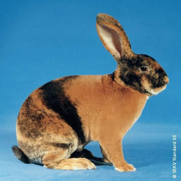 Породы декоративных кроликов и их особенности