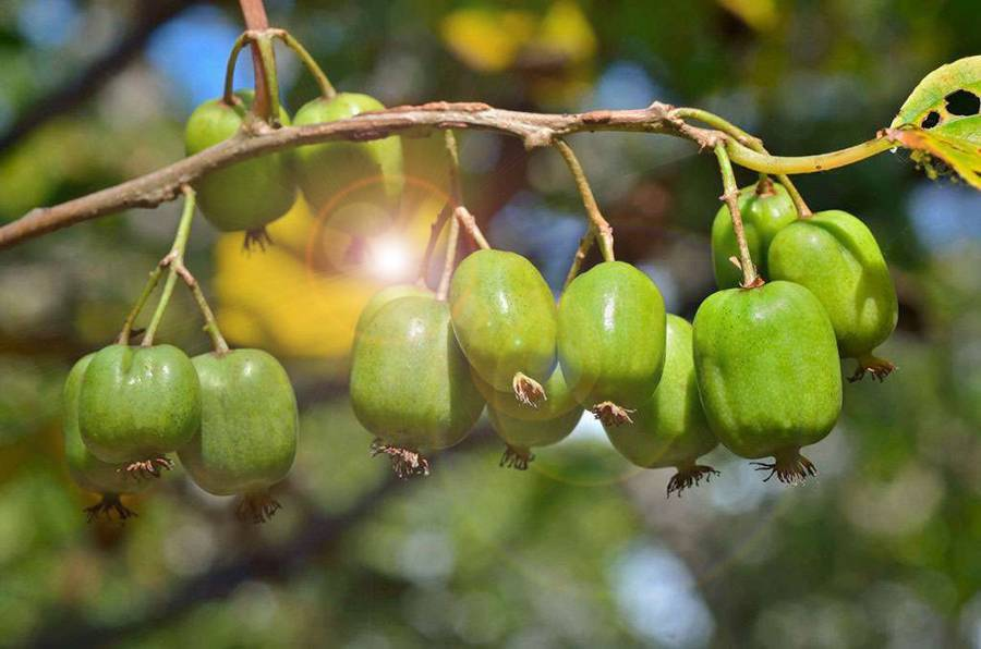 Актинидия с собственного огорода: особенности выращивания «киви» в разных регионах