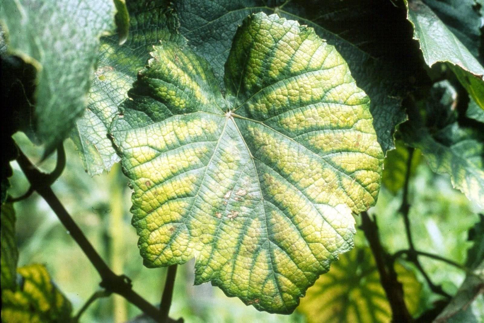 Хлороз винограда лечение хелатом железа