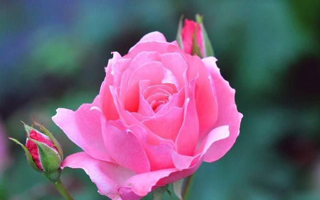 Все о пересадке роз осенью на другое место