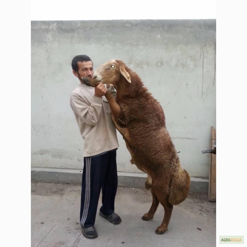 Гиссарская порода овец – какими достоинствами и недостатками она обладает?