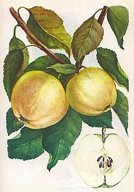 Дерево яблоня: посадка и уход, фото, обрезка, прививка, описание сортов