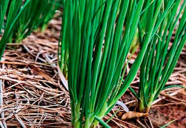 Лук шалот княжич выращивание из семян отзывы