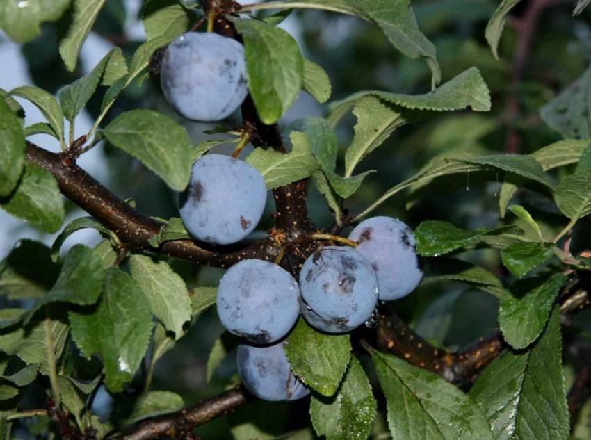Почему слива внезапно усыхает? болезни и вредители сливы, от которых сохнет дерево и скручиваются листья сливы