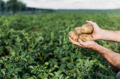 Как вырастить картофель по методу кизимы: описание метода, отзывы