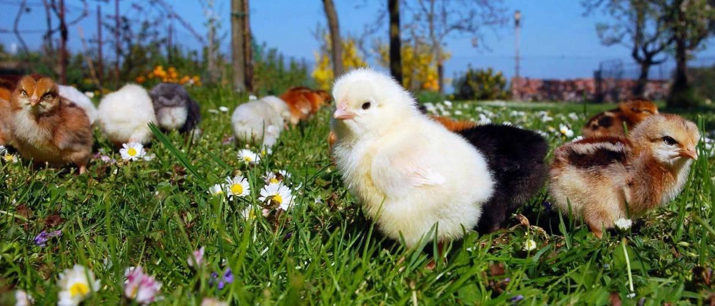 Лечение поноса у цыплят бройлеров