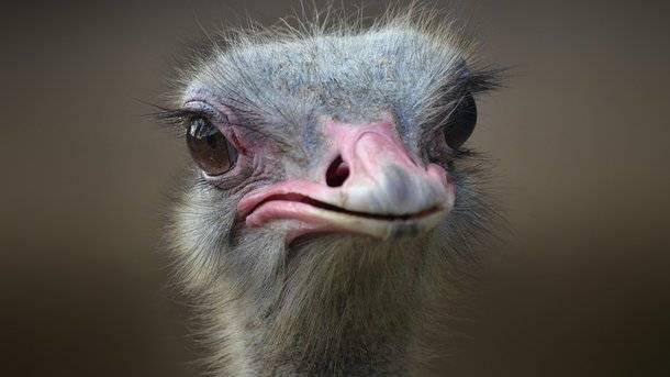 Эму: птица, похожая на страуса