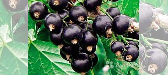 Чёрная смородина: 30 лучших сортов самой сладкой летней ягоды. описание ранних, среднеспелых, поздних, крупноплодных и морозостойких сортов (35+ фото & видео) +отзывы