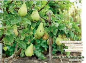 Лучшие морозостойские сорта груш для выращивания на урале