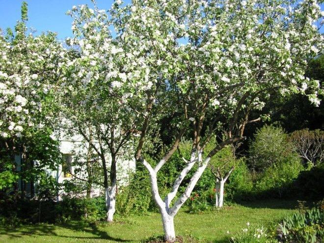Побелка деревьев весной – здоровый и ухоженный сад