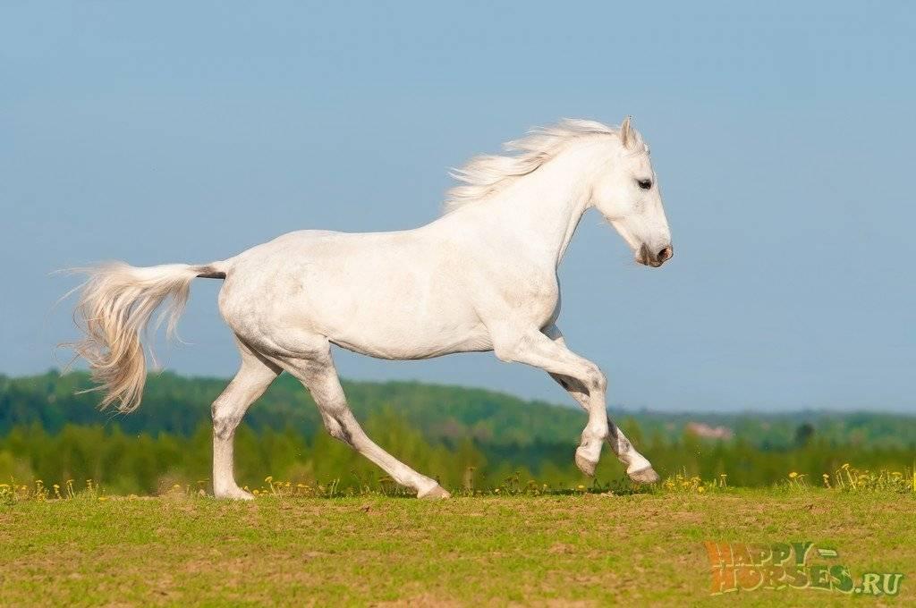 Описание и характеристики орловской породы лошадей