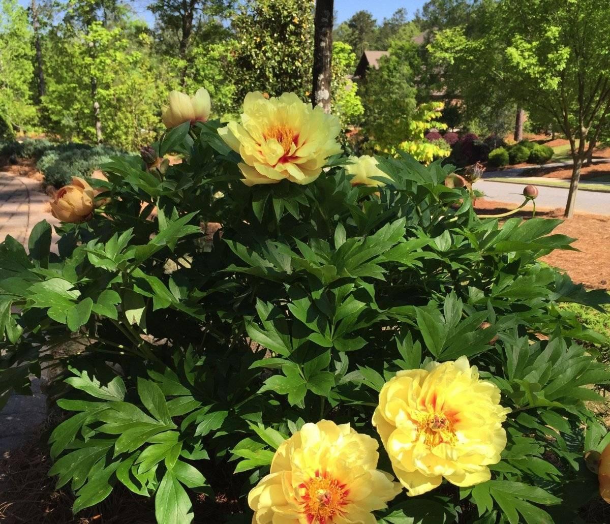 О сортах пионов: описание и характеристики, посадка и уход за сортовыми цветами