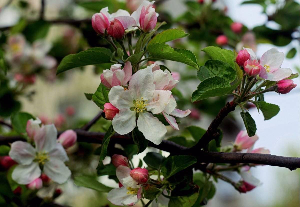 Что делать, если вишня цветет, но не плодоносит