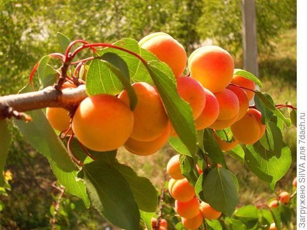 Как посадить абрикос весной: особенности и пошаговые рекомендации