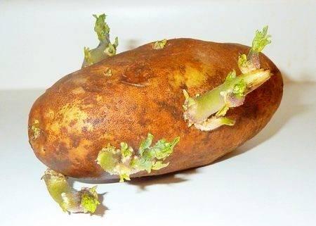 Сроки всходов картофеля после посадки: советы и примеры