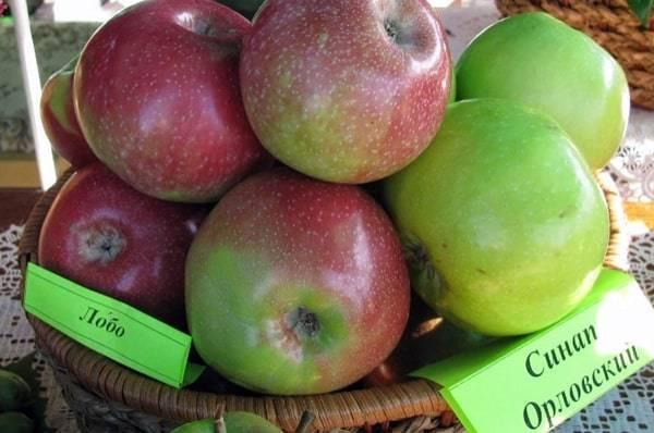 Неприхотливая и с хорошей урожайностью яблоня сорта «орловский синап»