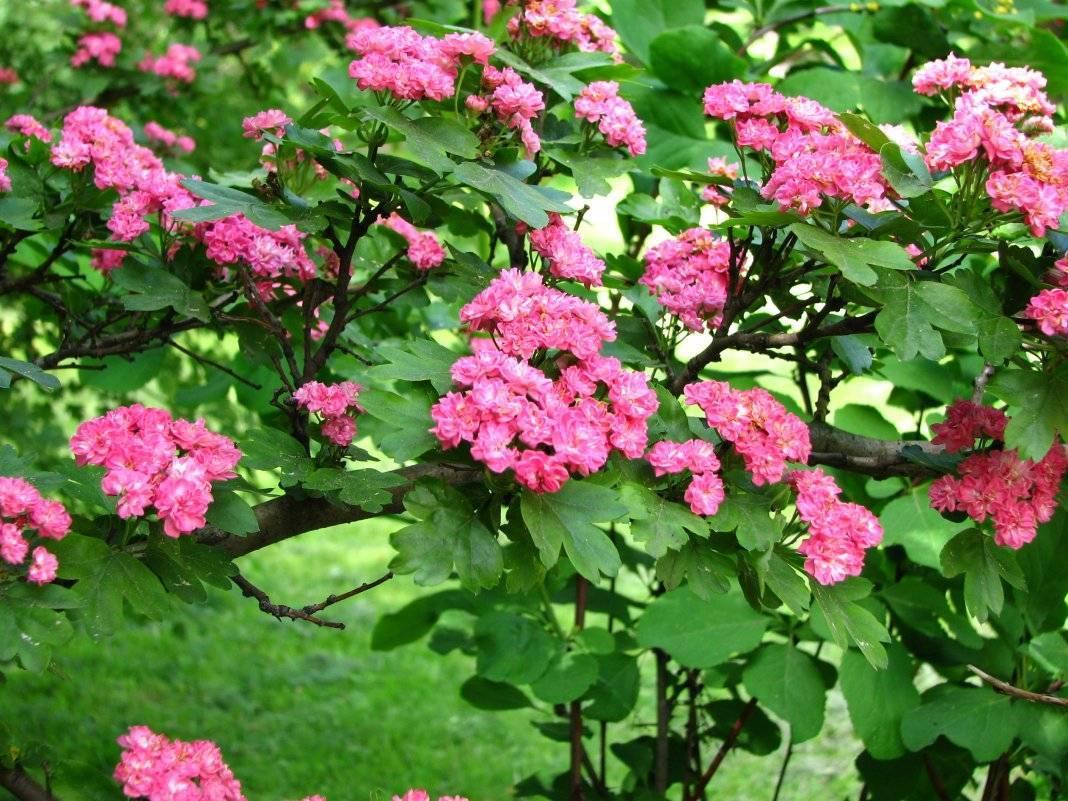 Боярышник в саду: ваш полезный сосед
