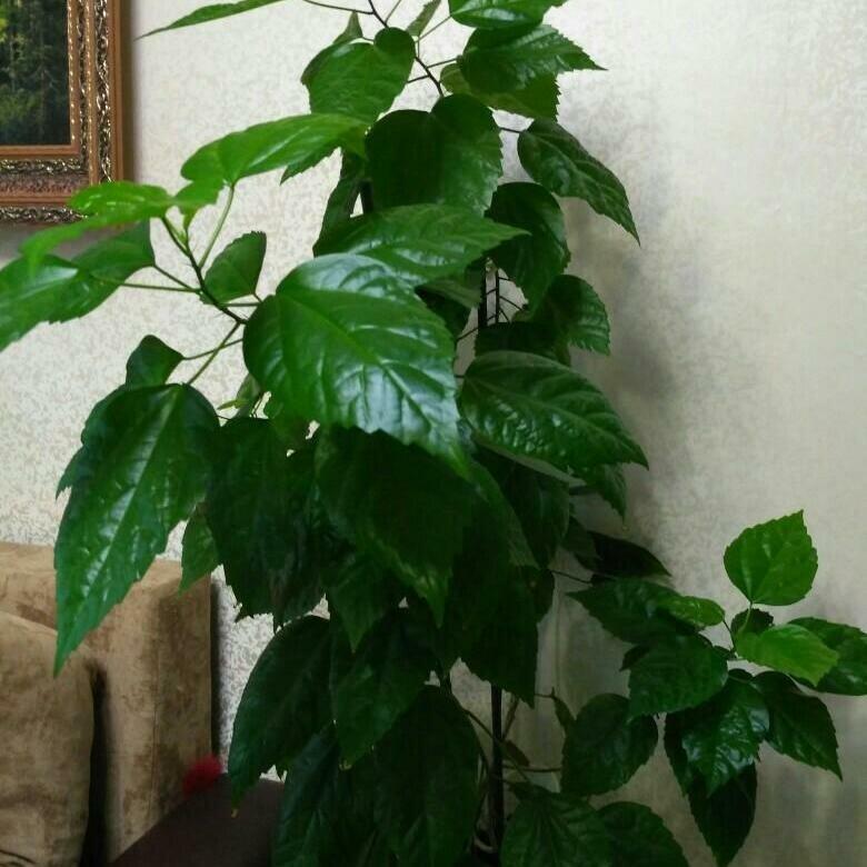 Достаточно ли вы знаете о том, почему желтеют листья у комнатной китайской розы? основные причины и способы лечения