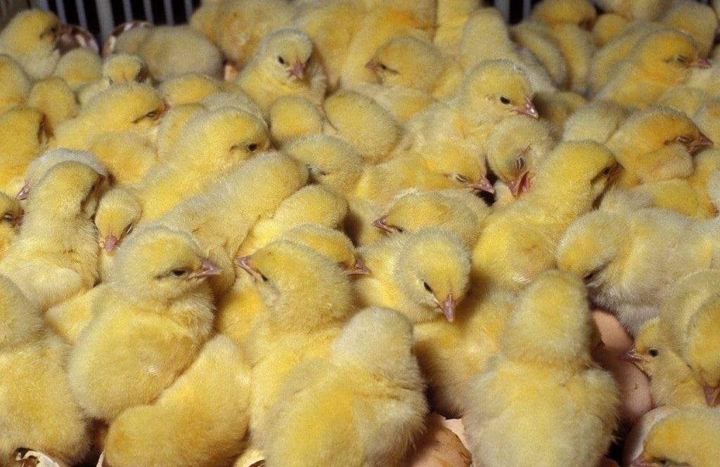 Почему у цыплят опущены крылья