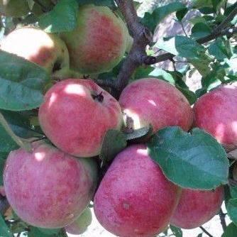 Старинный крупноплодный сорт яблони апорт кроваво-красный