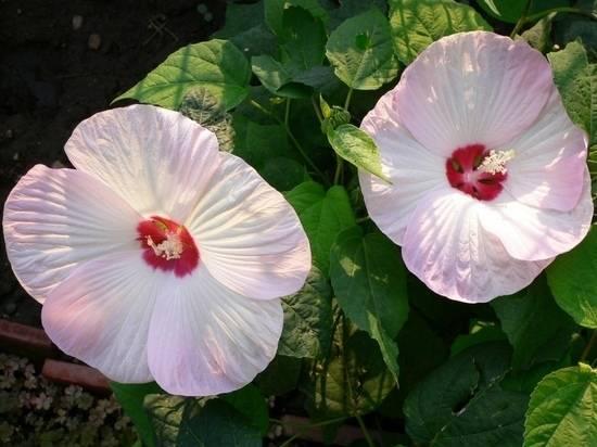 Гибискус кустовой: фото, посадка и особенности ухода