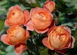О розе мондиаль (mondial): описание и характеристики, агротехника выращивания