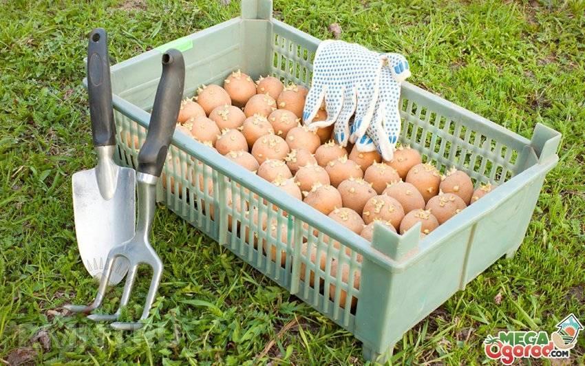 Подготовка картофеля к посадке - правила проращивания и обработки