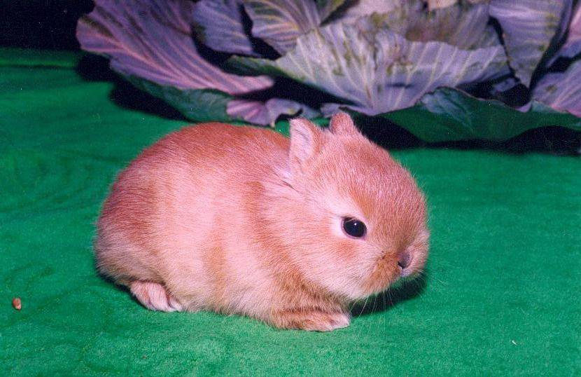 Кролик карликовый баран: описание породы, фото, особенности содержания и разведения, отзывы