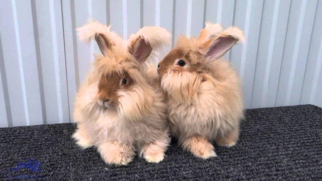 Нужно ли купать кролика?