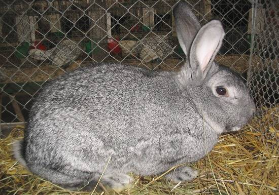 Какие породы кроликов лучше разводить на мясо в домашних условиях: таблица
