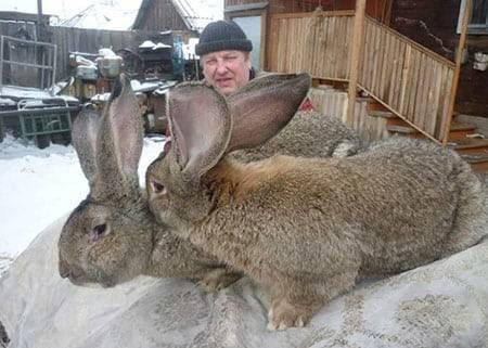 Лучшие породы кроликов для домашнего разведения