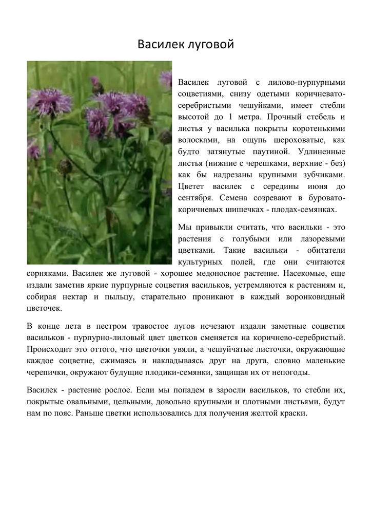 Василек луговой фото и описание