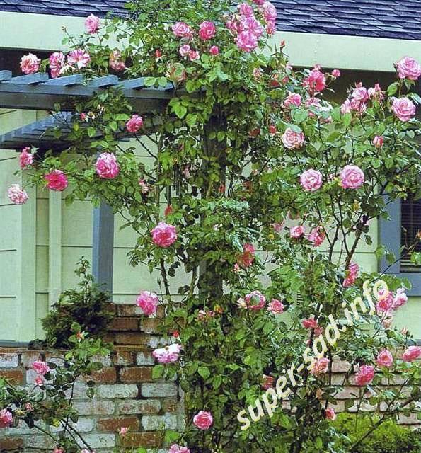 Шпалера для плетистой розы