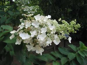 Гортензия в сибири (66 фото): посадка и уход, гортензия метельчатая и другие виды, размножение и популярные сорта садовой гортензии