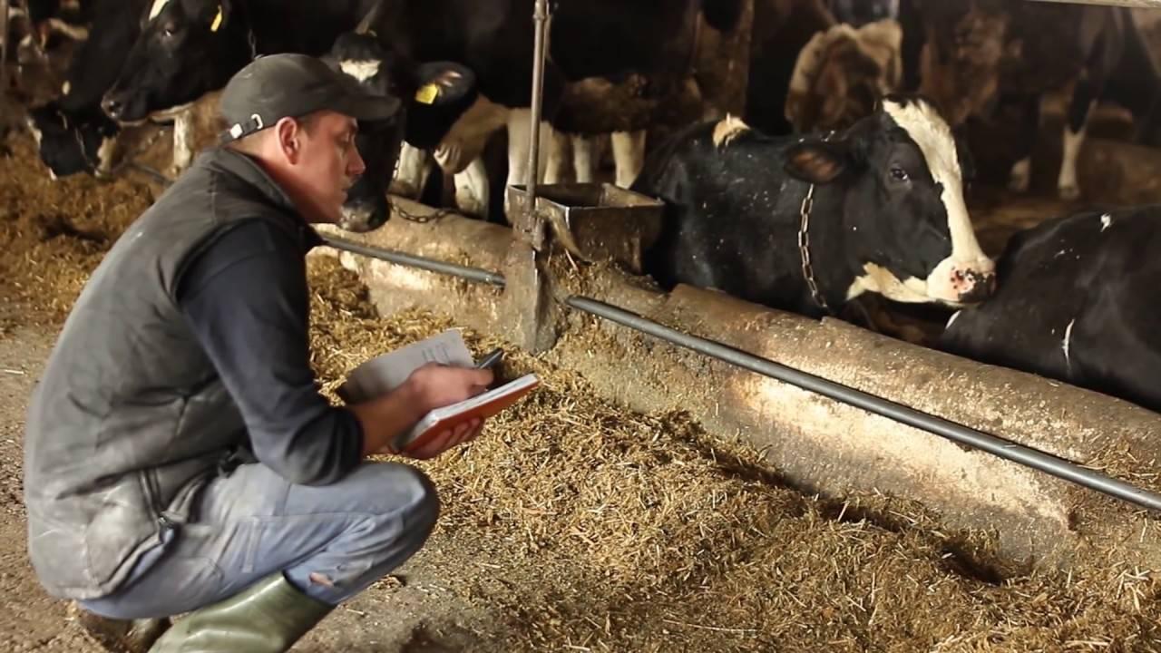 У коровы нет жвачки: описание, причины, что делать