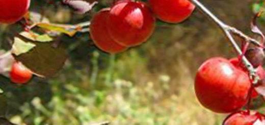 Характеристика и особенности сливы сорта исполинская